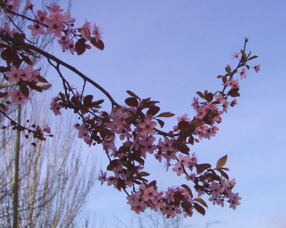 blossom-4